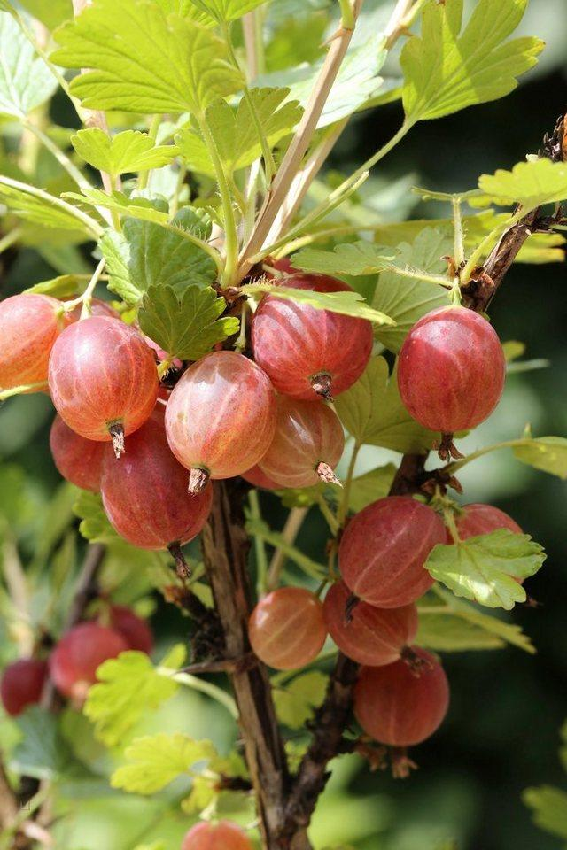 BCM Obstpflanze »Stachelbeere«, rot