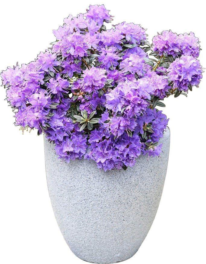 BCM Hecken »Rhododendron Ronny«, Höhe: 20 cm, 1 Pflanze