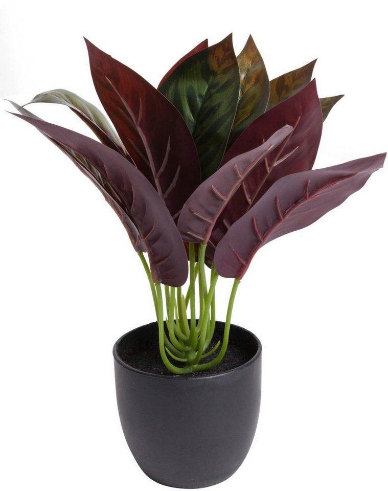 Künstliche Zimmerpflanze »Calathea« Calathea, Botanic-Haus, Höhe 20 cm