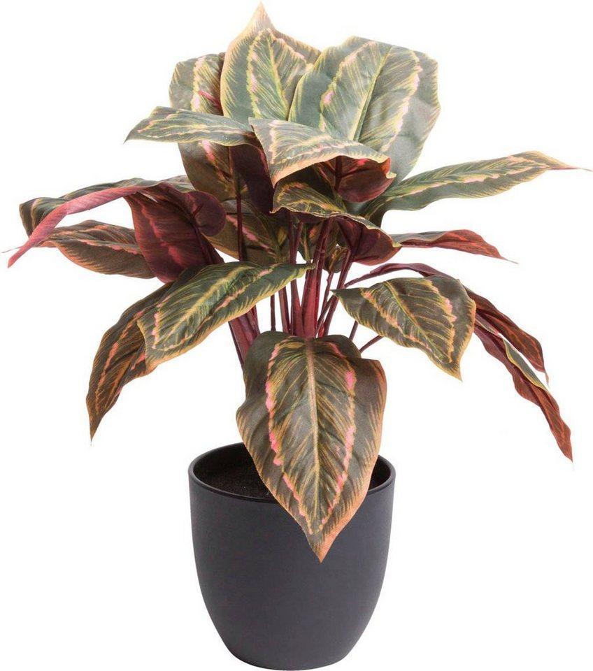 Künstliche Zimmerpflanze »Calathea« Calathea, Botanic-Haus, Höhe 43 cm