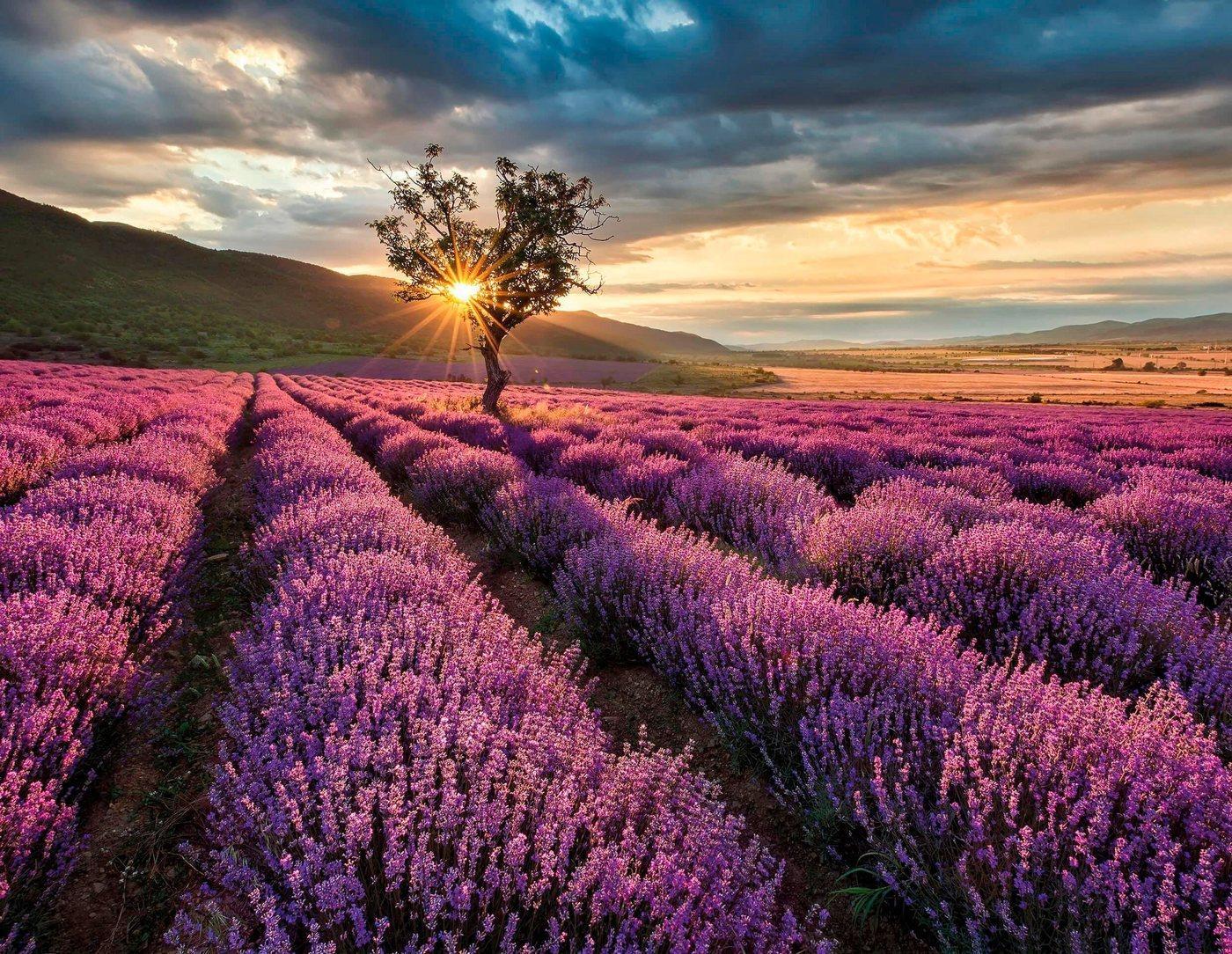 living walls Fototapete »Lavendelfeld Lavendelblüte«, glatt, Vlies