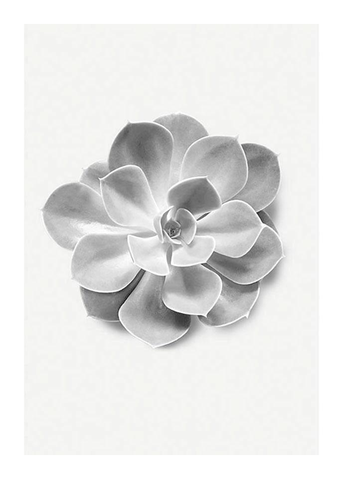 Komar Poster »Succulent Aeonium«, Pflanzen, Blätter, Höhe: 50cm